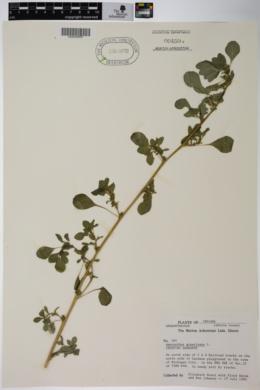 Amaranthus graecizans image