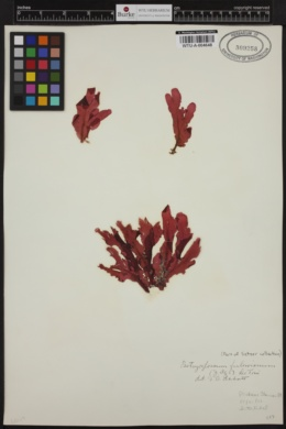 Cryptopleura farlowiana image