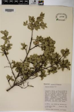 Quercus striatula image