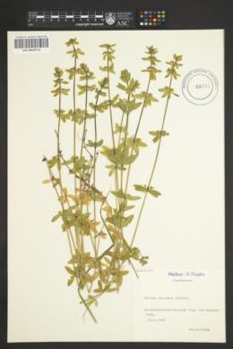 Image of Galium cruciata