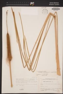 Typha domingensis image