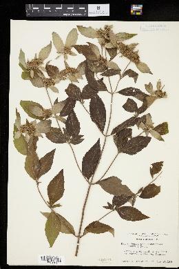 Image of Pycnanthemum pycnanthemoides