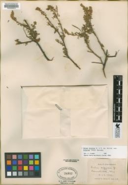 Dalea bicolor image