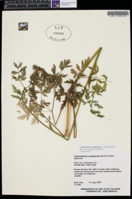 Conioselinum scopulorum image