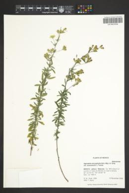 Ageratella microphylla image