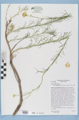 Senecio flaccidus var. monoensis image