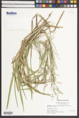 Image of Glyceria pedicellata