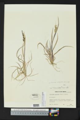 Eriochloa acuminata var. minor image