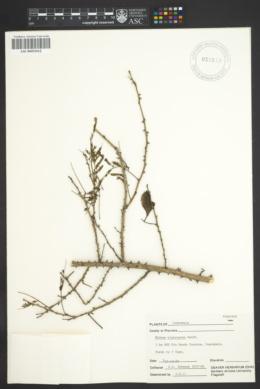 Image of Mimosa platycarpa