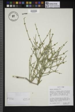 Ephedra nevadensis image