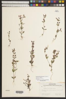Erythranthe floribunda image