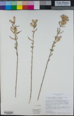 Brickellia verbenacea image