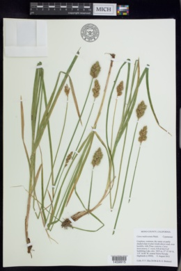 Carex multicostata image