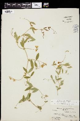 Lathyrus palustris var. myrtifolius image