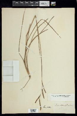 Paspalum plicatum image