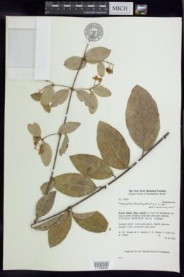 Image of Thryallis brachystachys