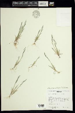 Image of Muhlenbergia biloba