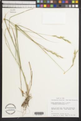 Image of Elymus panormitanus