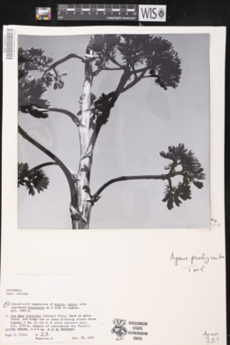 Agave pachycentra image