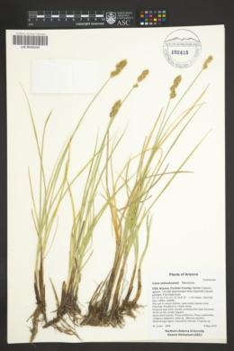 Carex agrostoides image
