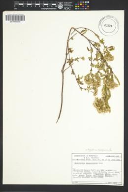 Ageratina paupercula image