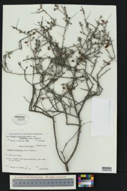 Krameria erecta image