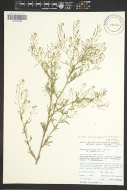 Descurainia incisa subsp. paysonii image