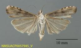 Nomophila nearctica image