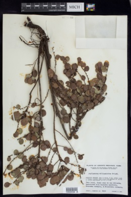 Image of Phyllanthus williamioides