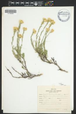 Chrysothamnus depressus image