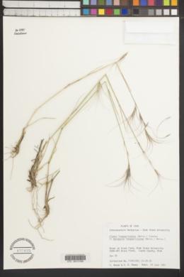 Image of Elymus longearistatus