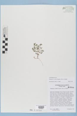 Chamaesyce serrula image