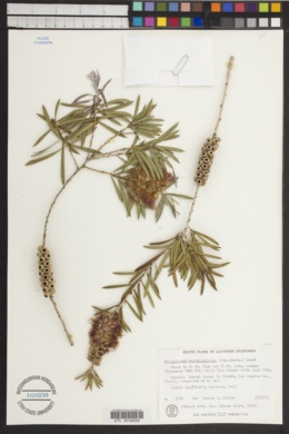 Image of Callistemon macropunctatus