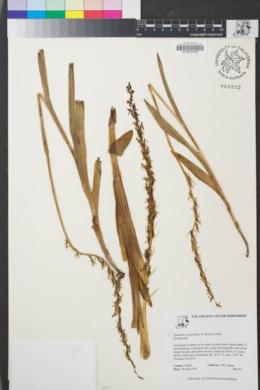 Image of Platanthera sparsiflora