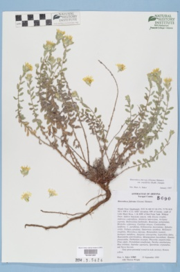 Image of Heterotheca fulciens