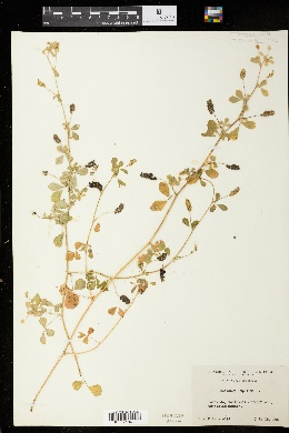 Medicago sativa subsp. falcata image