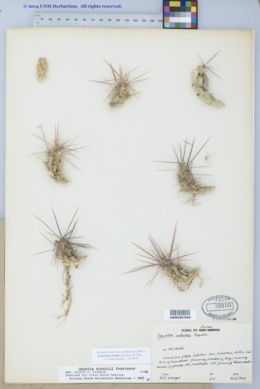 Image of Corynopuntia schottii