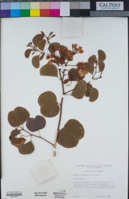 Bauhinia galpinii image