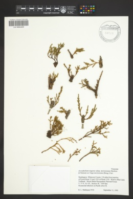 Arceuthobium tsugense image
