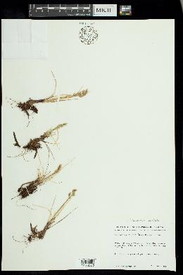 Anthoxanthum monticola image