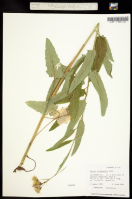 Senecio triangularis image