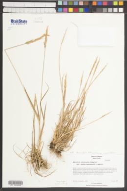 Agrostis clivicola image