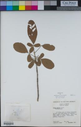 Image of Vitex mollis