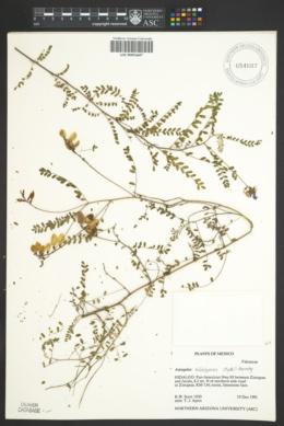 Image of Astragalus hidalgensis