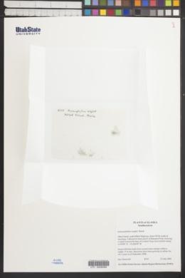Hymenophyllum wrightii image