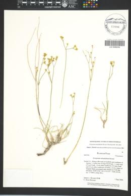 Image of Eriogonum mitophyllum