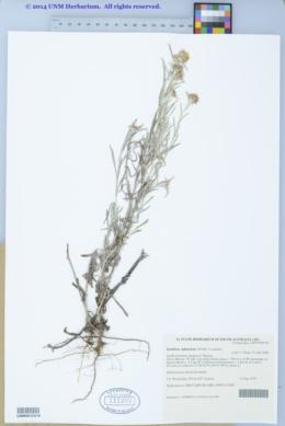 Euchiton sphaericus image