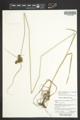Cyperus manimae var. asperrimus image