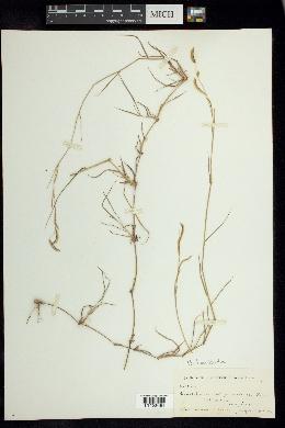 Bouteloua barbata image