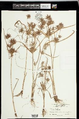 Cyperus parishii image